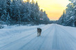Quadro dog on a winter road at the sunset