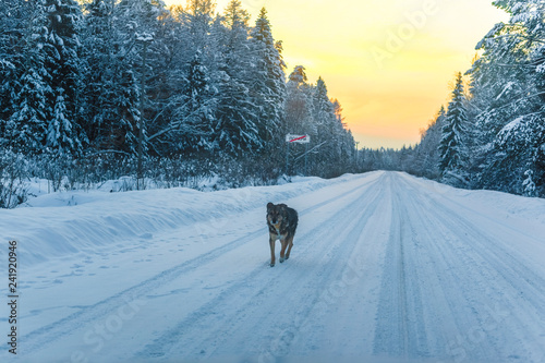 dog on a winter road at the sunset