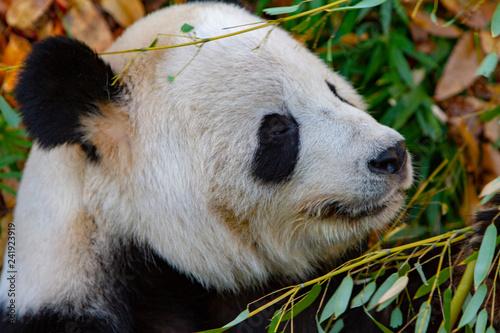 Close-Up of a Panda at the National Zoo