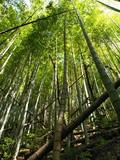 そびえる竹林と朽ちた竹