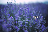 Fototapeta Lawenda - Lavender flowers with butterfly on field © ValentinValkov