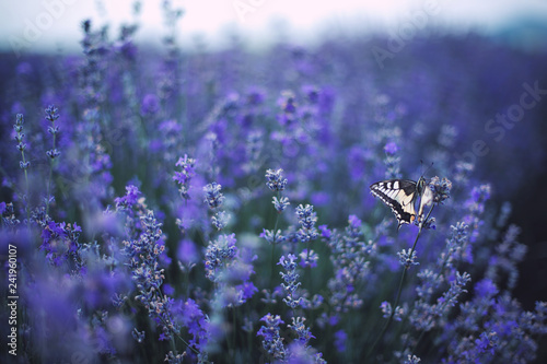 Lavender flowers with butterfly on field - 241960107