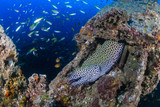 Large Honeycomb Moray Eel on an underwater shipwreck