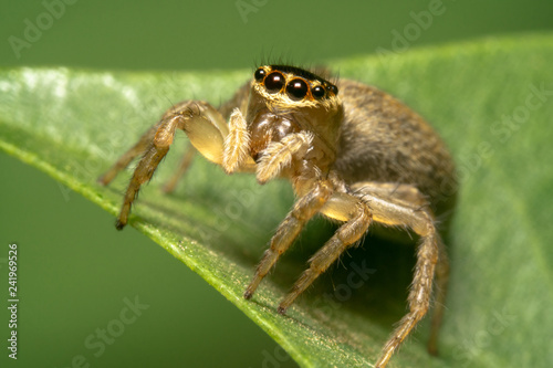 Garden Jumping Spider - Opisthoncus parcedentatus on a green leaf looking at the camera - 241969526
