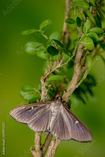 Buchsbaumzünsler Falter, braune Farbvariante, sitzt auf Buchsbaum - 241972557