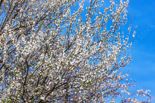 Blossoms of cherry on the background of a blue sky in a clear spring day_