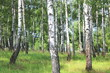 Leinwanddruck Bild - Beautiful birch trees with white birch bark in birch grove with green birch leaves