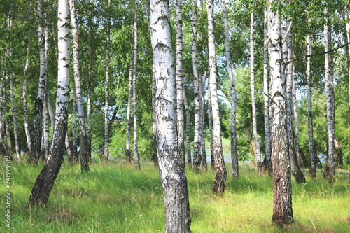 Beautiful birch trees with white birch bark in birch grove with green birch leaves - 241979519