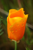 A beautiful wet California Golden Poppy covered in raindrops - 241979977