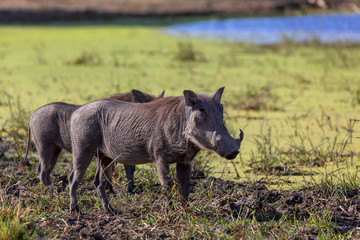 African common animal pig Warthog (Phacochoerus) in natural habitat Moremi game reserve, Botswana safari wildlife