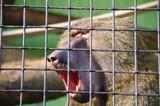 Monkey in a cage of a zoo in Kiev - 241989145