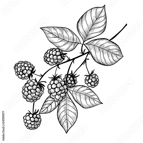 Vector drawing of a blackberry branch isolated on white background. Element for design.