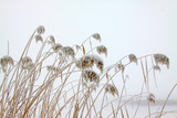 reeds in the frost and snow - 241993798