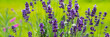 Leinwanddruck Bild - Blooming lavender flowers on green grass background on a sunny day. Web banner.