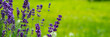 Blooming lavender flowers on green grass background on a sunny day. Web banner.