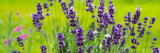 Blooming lavender flowers on green grass background on a sunny day. Web banner. - 241996134