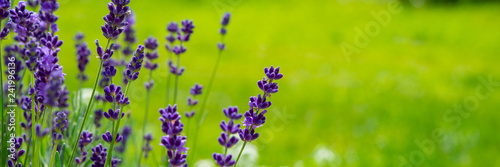 Leinwanddruck Bild Blooming lavender flowers on green grass background on a sunny day. Web banner.