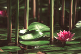 pink flower water lily between leaves in a Japanese pond