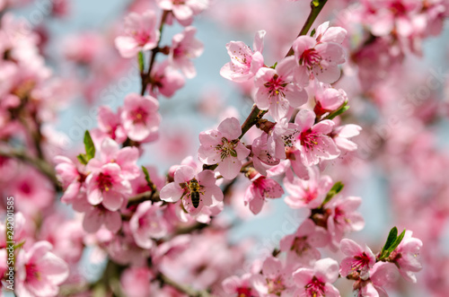Wall mural beautiful peach blossom