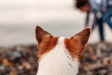 Rear view close-up of Chihuahua dog ears on the beach looking at his mistress
