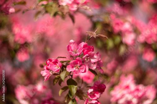 Apple tree branch - 242005181