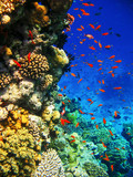 Coral reefs of the Red Sea.