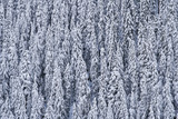 Mountain forests covered in snow
