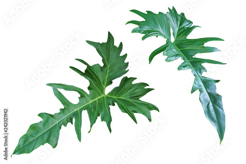 Tropical Green Leaves of Philodendron Plant Isolated on White Background