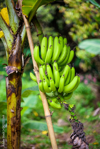 mata magnetyczna Banana tree in Seychelles - tropical fruits in nature