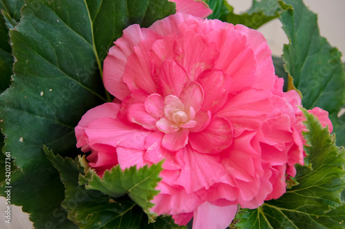 Blossom plants of large pink terry romantic Begonia flowers - 242027361