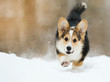welsh corgi pembroke puppy running in the snow