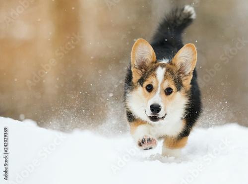 welsh corgi pembroke puppy running in the snow