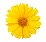 Yellow daisy (chamomile) flower, isolated on a white background (design element)