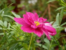 "Постер, картина, фотообои ""Cosmos bipinnatus. Fleurs de Cosmos bipenné ou cosmos des jardins aux capitules de couleur rose foncé"""