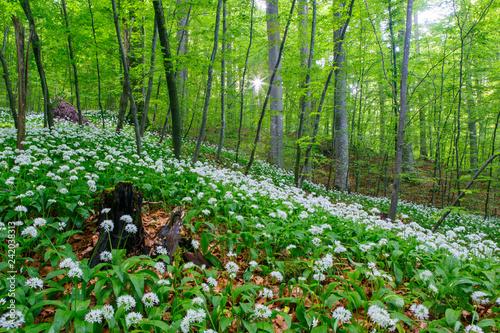 Bärlauch im Frühling