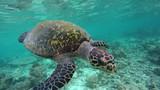 eine Schildkröte schwimmt in einem schönen Korallenriff auf den Malediven - 242039571