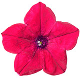 Petunia flower red isolated