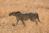 Lonely cheetah hunting South Africa