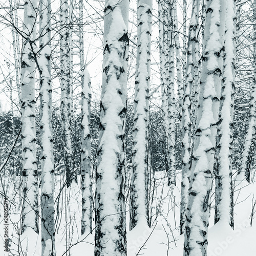 Trunks of birch trees in winter snowy forest close up - 242052774