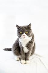 Szary, brytyjski, krótkowłosy kot na białym tle