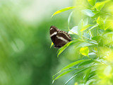 close up a black butterfly on green leaf , relax and calm with nature concept