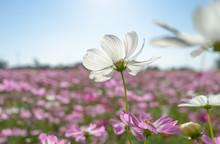 "Постер, картина, фотообои ""Cosmos flower field on a sunny day"""