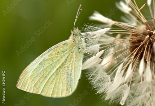 Weißer Schmetterling sitzt bewegunglos in einer nassen Pusteblume - 242068907