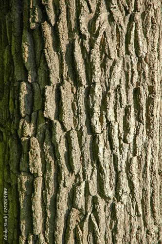 Bark of a tree - 242074989