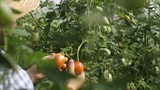 Young gardener picking up harvesting tomatoes in plantation with hat on head and blue shirt - 242075372