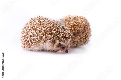 obraz lub plakat Hedgehog isolated on white background.