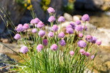 A bunch of flowering chives on a river of Pyrenees, Spain - 242091972