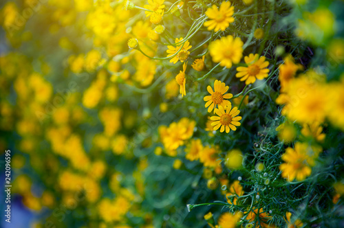 Foto Murales Blooming yellow flower in the flora garden. free copy space, Concept valentine.