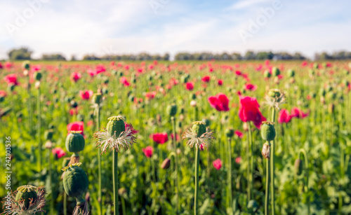 Buds, red flowers and seed capsules of opium poppy plants in a large field