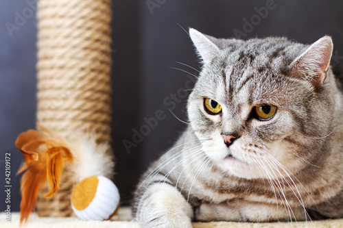 gray shorthair scottish striped cat, brown scratching post and toy ball with feathers